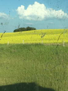 Beutiful Fields of Yellow